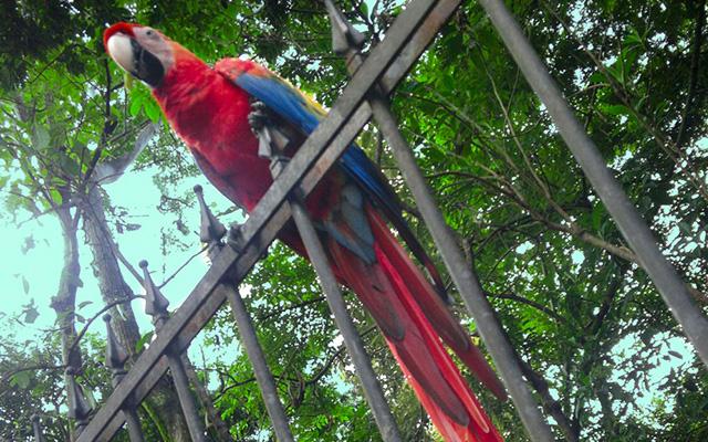 casa maravilla manuel antonio Scarlet Macaw