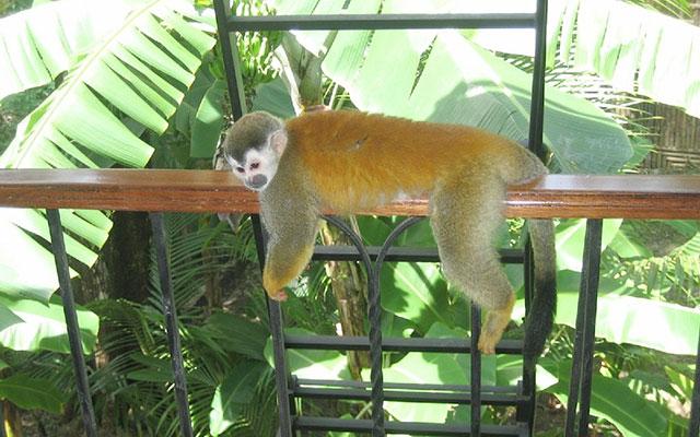 Casa Maravilla titi monkey visitor