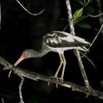 Mangrove night tour