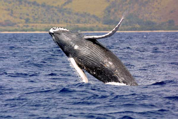Manuel Antonio Vacation Rentals: Whale watching 2