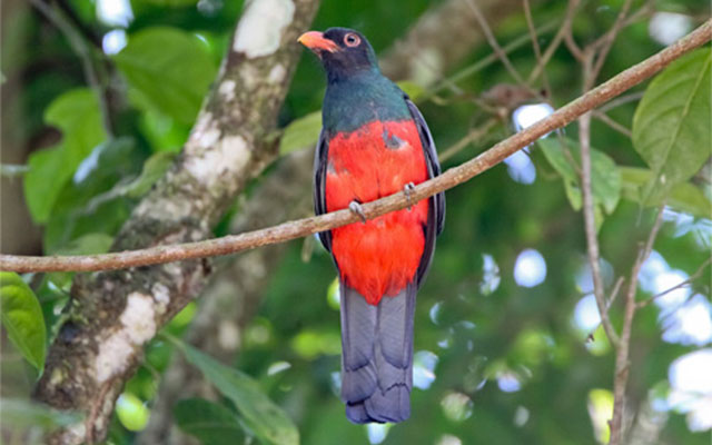 Manuel Antonio Rental Properties: Slaty tailed trogon