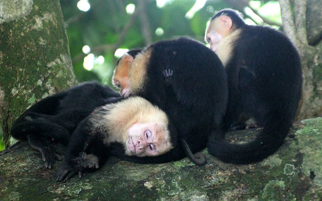 Costa Rica Vacation Home: Villa Playa Mono - sleeping monkeys
