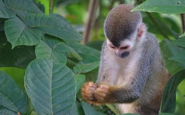 Costa Rica Villa: Villa Playa Mono - Titi Monkey