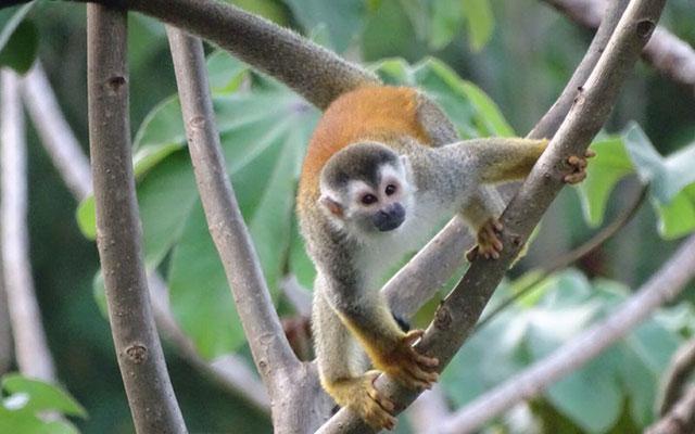 Manuel Antonio Villa: Villa Playa Mono - monkey