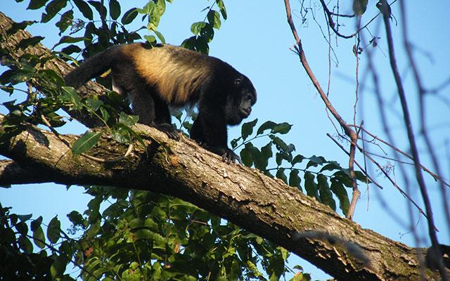 Vacation Rental Homes Manuel Antonio: Villa Playa Mono - howler monkey