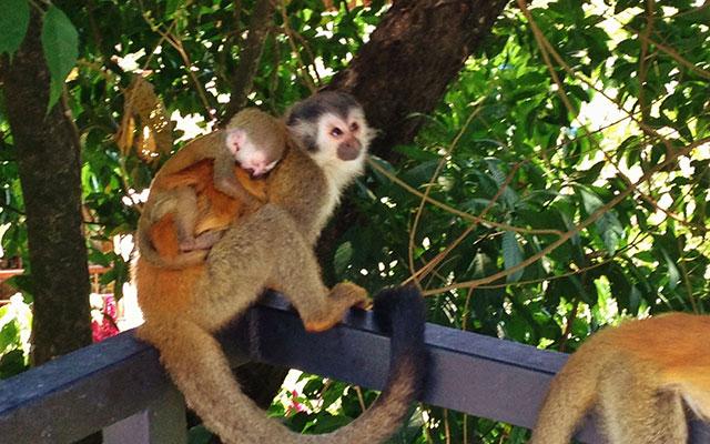 Manuel Antonio Vacation Villas: Villa Playa Mono - titi monkeys