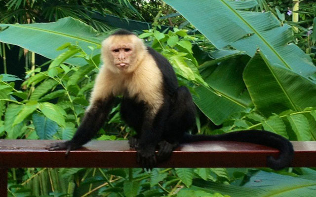 Villa Vista del Mar capucchin monkeys frequently visit