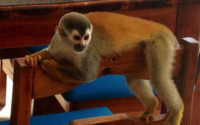 Villa Vista del Mar titi monkeys are common visitors