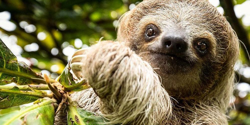 Villa Marbella three-toed sloth
