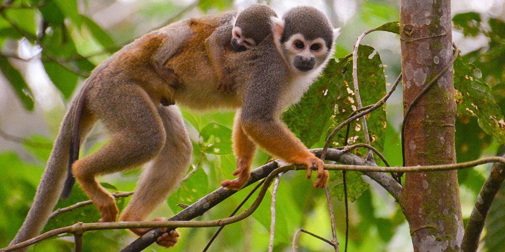Titi monkey carrying baby on back