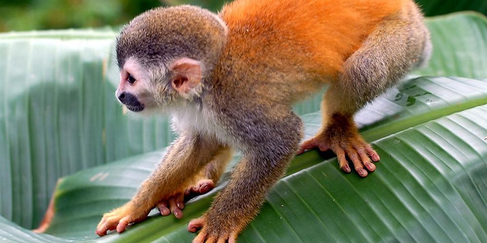 Casa Contee tit monkey